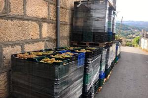 vendimia vino ribeiro, bodegas de Galicia