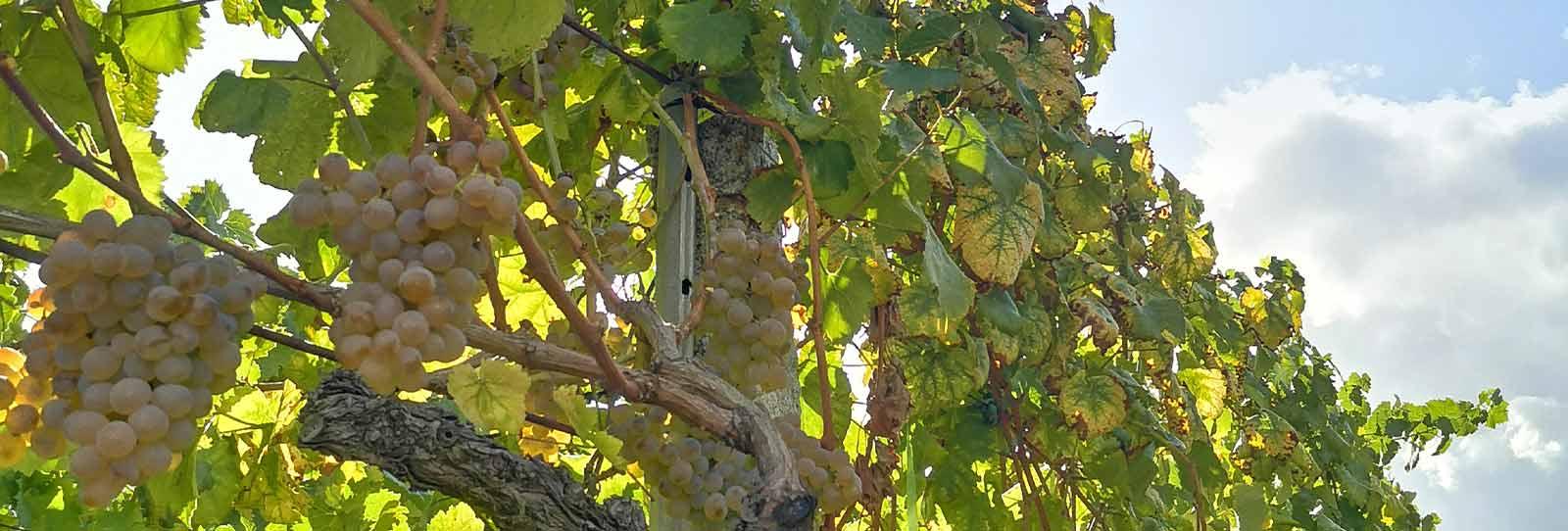 vendimia vino ribeiro, vinos gallegos