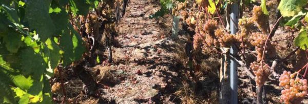 Ribeiro blanco variedad Treixadura, vino blanco Galicia