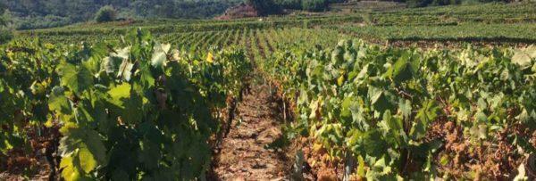 vinos gallegos ribeiro, bodegas Galicia