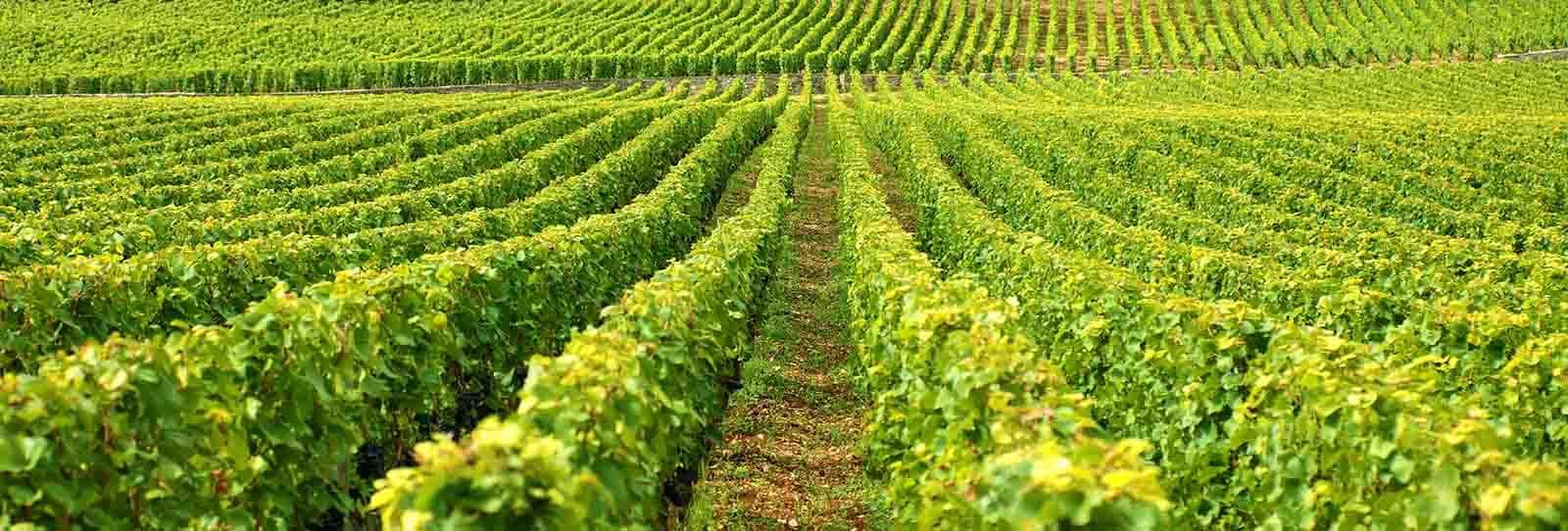 vino ribeiro de calidad